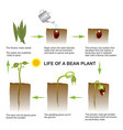 life of a bean plant education info graphic vector image