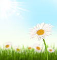 Green grass lawn with white chamomiles flowers and vector image