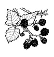 blackberries vector image