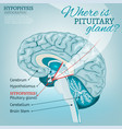 pituitary gland vector image