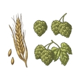 Set hop herb plants with leaf and Ear of barley vector image