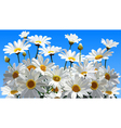 daisy flowers on a blue background vector image