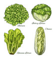 cabbage and lettuce vegetable isoletad sketch vector image