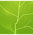 fresh green leaf texture vector image