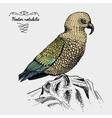 kea bird engraved hand drawn vector image