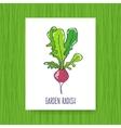 Banner Garden radish vector image