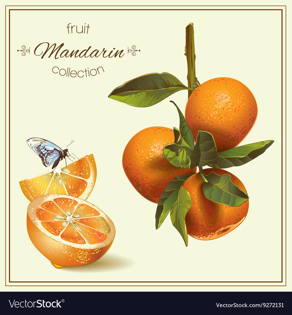 Realistic of mandarin vector