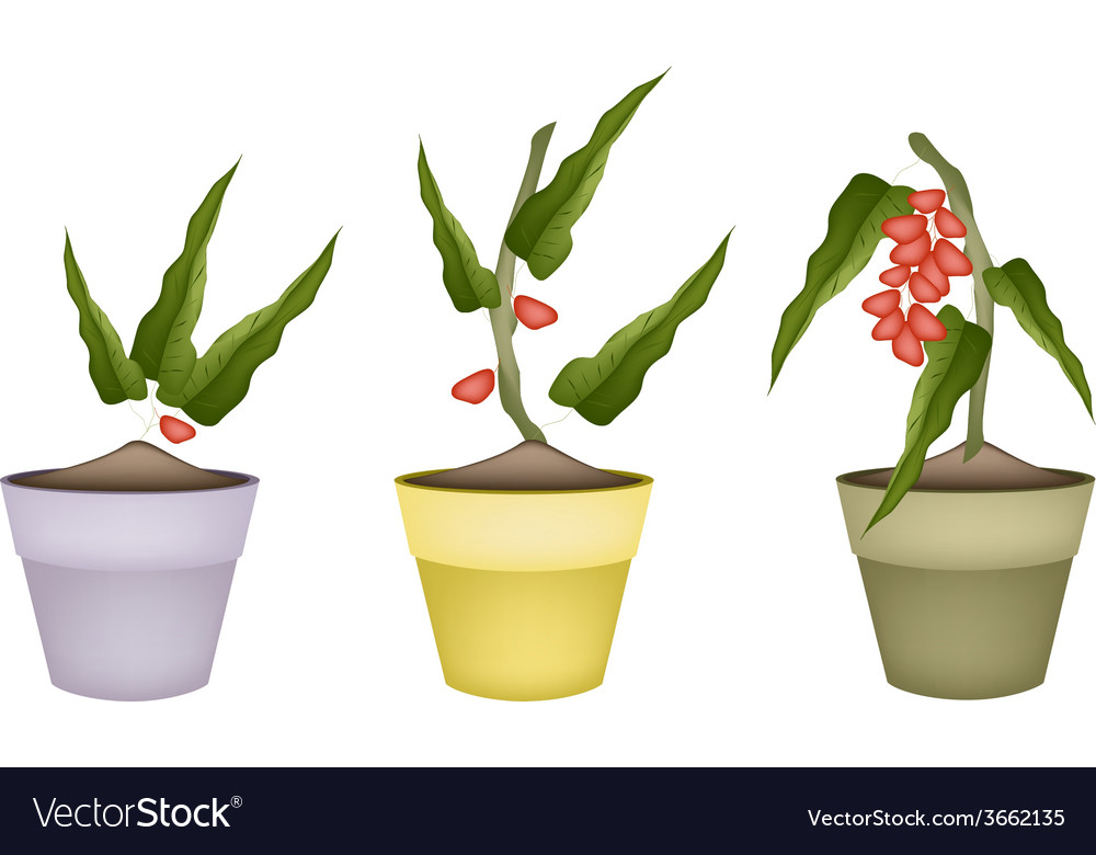 Pistachio nuts on tree in ceramic flower pots vector