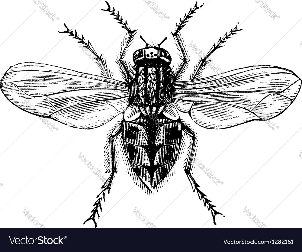 Housefly vintage engraving vector