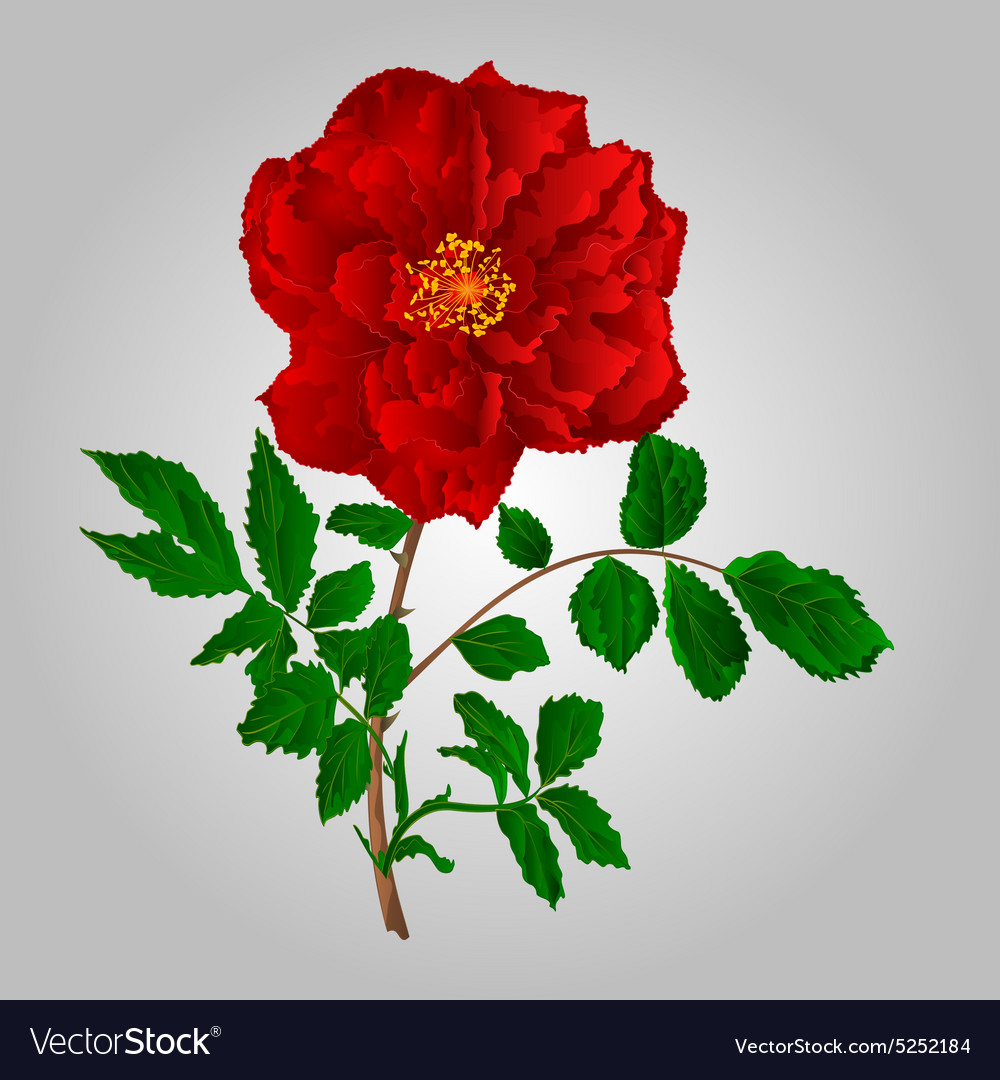 Rose red flower stem with leaves and blossoms vector