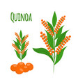 quinoa set seeds healthy quinoa vegetarian food vector image