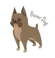 Boxer dog isolated on white background vector image