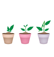 Mung Bean Plants in Ceramic Flower Pots vector image