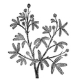 Mimosa pudica vintage engraving vector image