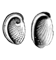 abalone seashell vector image vector image