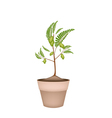 A Chick Peas Plant in Ceramic Flower Pots vector image