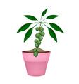 Macadamia Nuts on Branch in Ceramic Flower Pots vector image