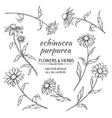 Echinacea purpurea set vector image