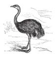 Common Rhea vintage engraving vector image