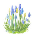 muscari with watercolor of blue vector image