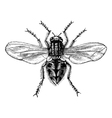 Housefly vintage engraving vector image