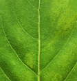 Green Leaf Texture vector image vector image
