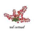 Red currant berries vector image