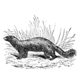 Common skunk vintage engraving vector image vector image