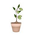 Unripe Almonds on Tree in Ceramic Flower Pots vector image vector image
