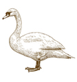 etching swan vector image
