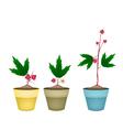 Three Hibiscus Sabdariffa Plant in Ceramic Pots vector image vector image
