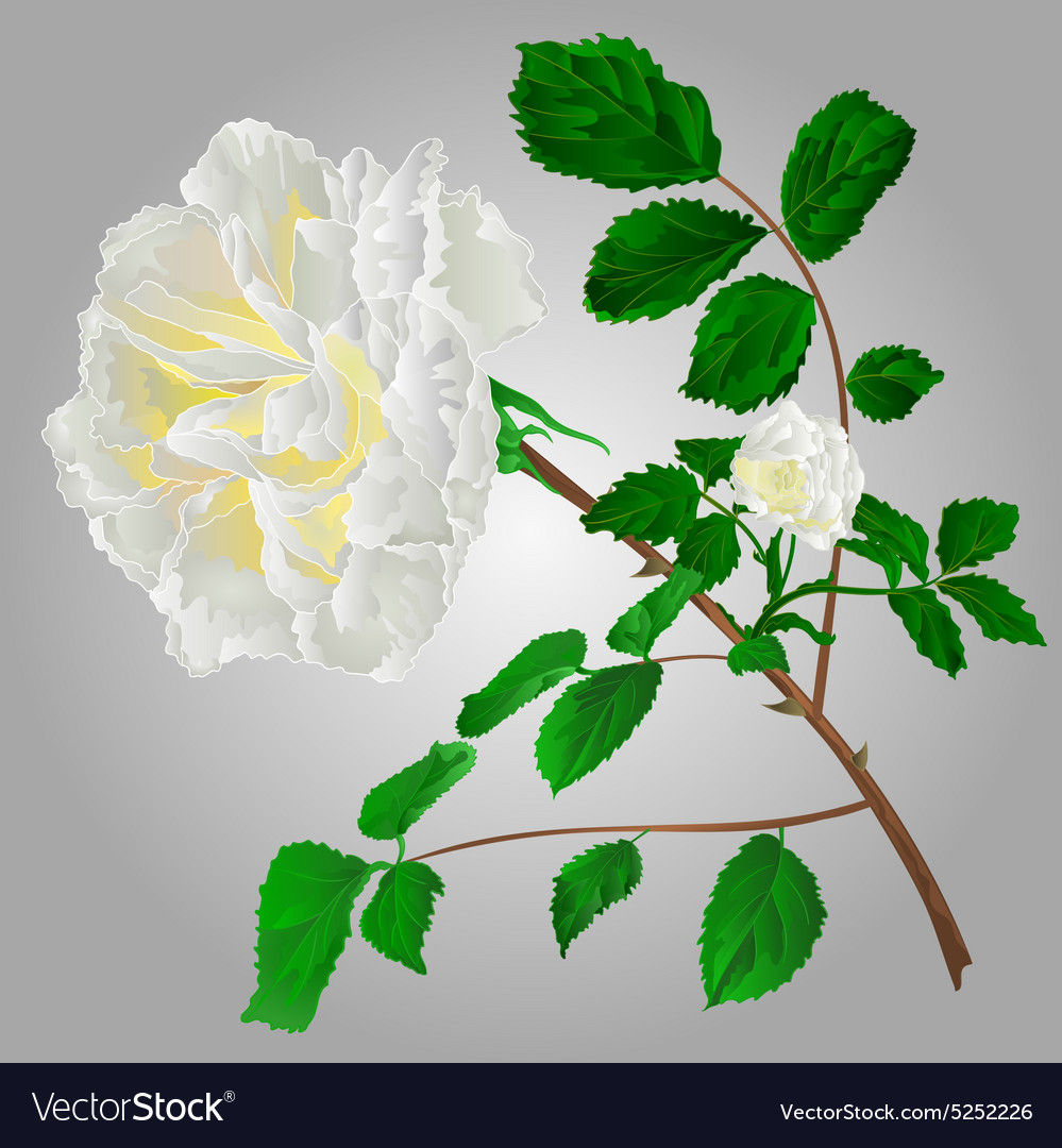 Rose white flower stem with leaves and blossoms vector