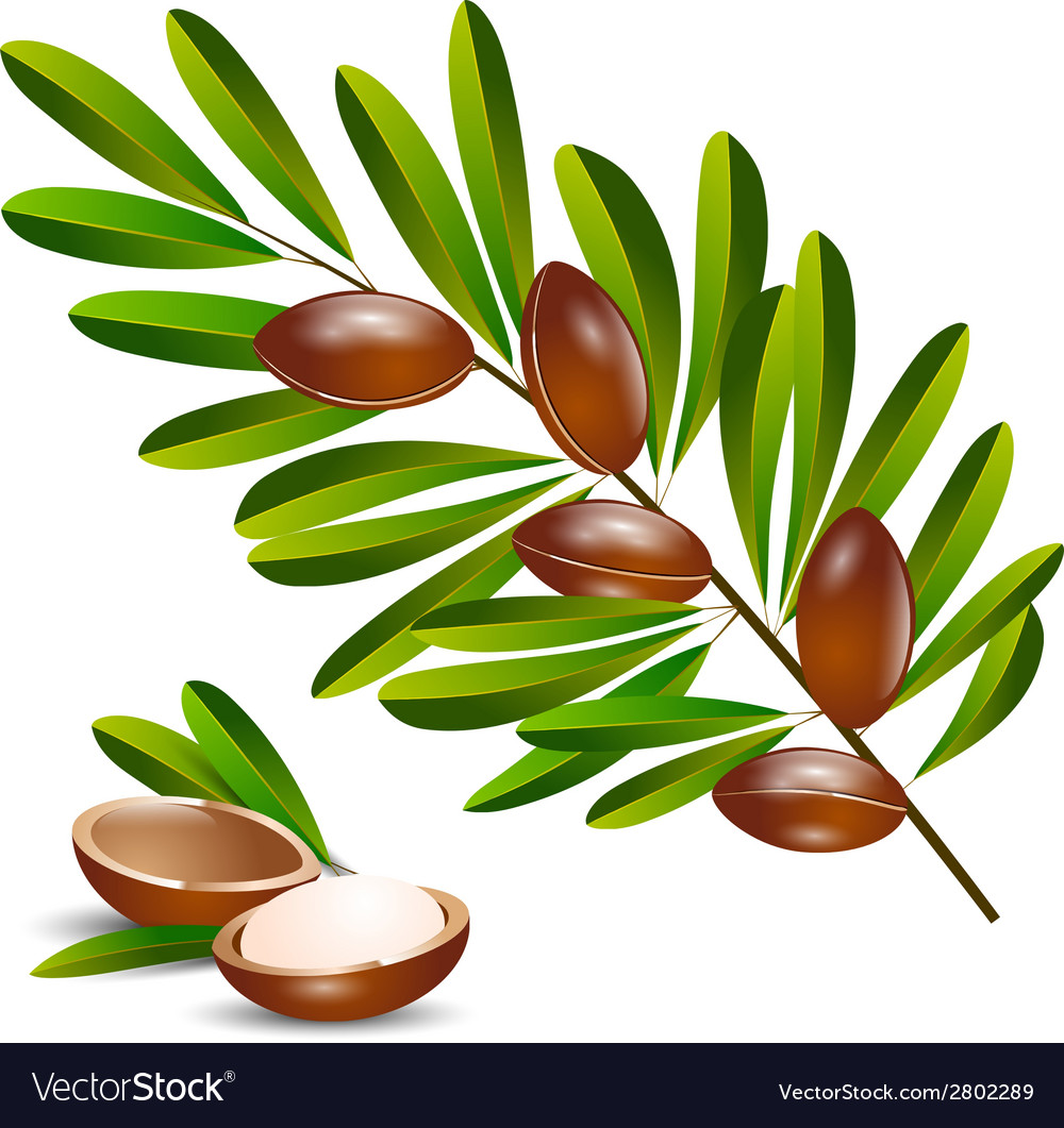 Argan tree branch vector