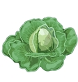 Big ripe cabbage with leaves vegetable vector image