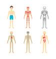 cartoon color human anatomical system set vector image