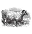 Leicester sheep vintage engraving vector image