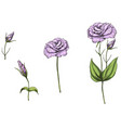 hand drawn eustoma garden flowers and leaves vector image