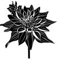 dahlias vector image