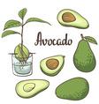 Avocado half of avocado avocado seed a seedling of vector image