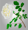 Rose white flower stem with leaves and blossoms vector image