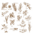 herbs spices and leaf vegetable sketch poster vector image