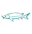 sturgeon freshwater fish vector image