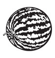 perfect whole striped watermelon with curled up vector image