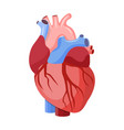 anatomical heart isolated vector image