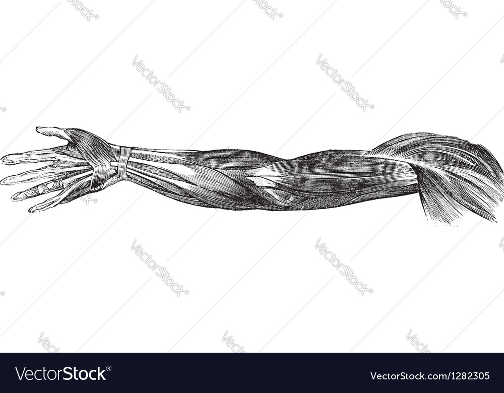 Human arm muscles tendons vector