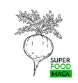 Icon superfood maca vector image