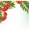 Background with bunch of rowan vector image vector image