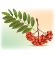 Bunch of ripe rowan vector image vector image