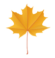 Autumn yellow gold maple leaf isolated vector image