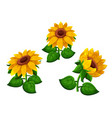 sunflowers on white background vector image